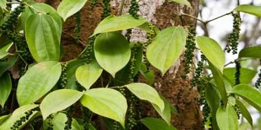 peper roślina