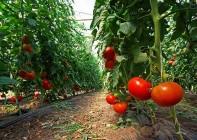 pomidory_dzialanie